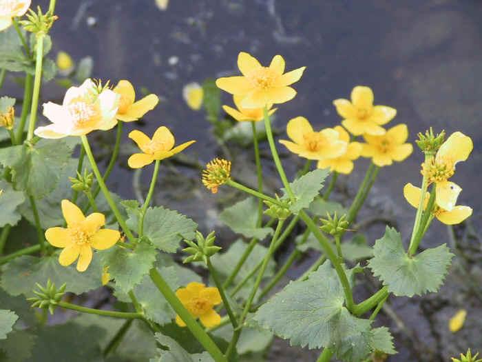 482d3d2fca Mocsári gólyahír (Caltha palustris)